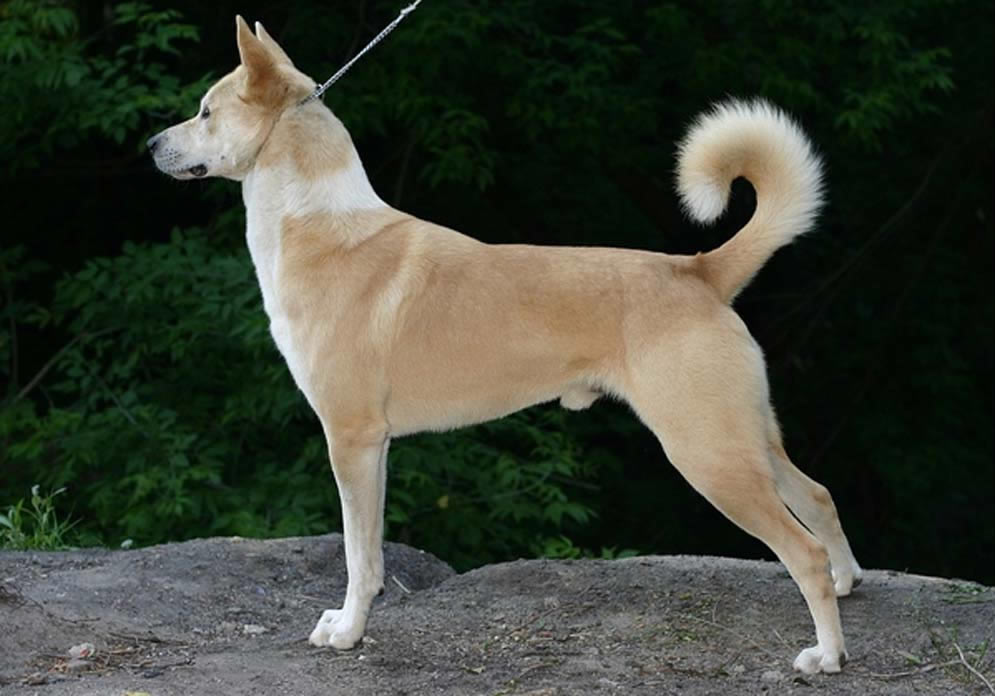 Canaan Dog Wiki Commons Arabian Rock Art Heritage - Wikicommons